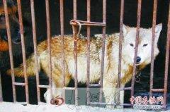 蒙古草原狼误被当狗养,专家教你区别狼和狗
