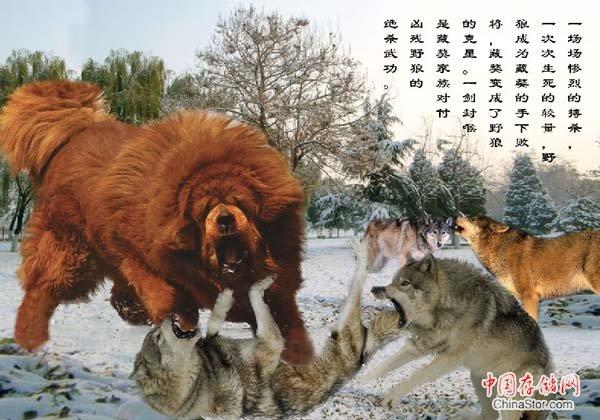 求世界上狗打架的排名最猛的