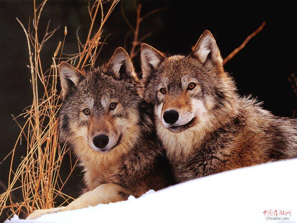 狼和狗的区别,狼和狗谁更厉害?