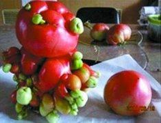 日本核泄漏导致蔬菜和水果变异,形状奇怪且巨大
