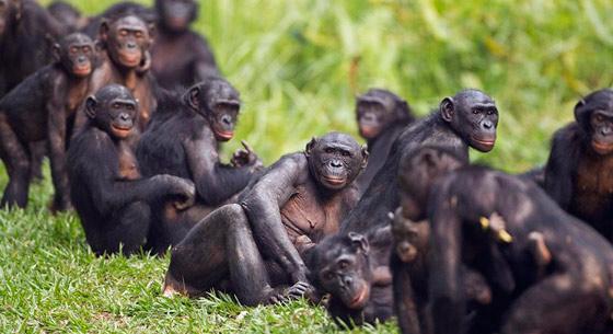 艾滋病病源首次完全确认 来自喀麦隆大猩猩
