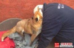 动物比人有情 狸猫报恩送栗子 小狐狸7年不忘见恩人