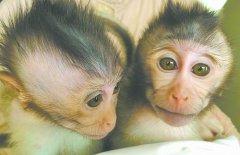 转基因猴子 被成功植入自闭症病毒