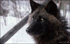 狼的种类介绍及相关品种的狼的图片