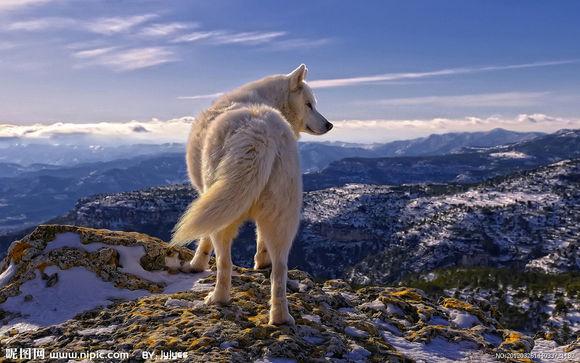巨型藏獒犬图片_狼的种类介绍及相关品种的狼的图片_社会新闻_中国存储网