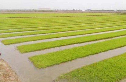 科技日报:浮夸之风吹歪了海水稻