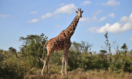 两头长颈鹿被闪电击中而亡